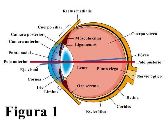 Figura 1: Sección horizontal del ojo.