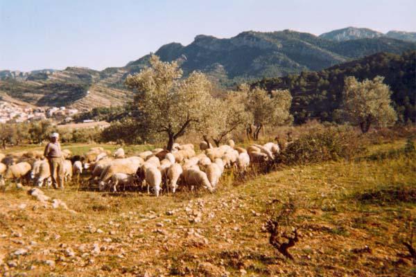 Agricultura, Ganadería, Ramón Guimerá Caballé, pastor, mi padre
