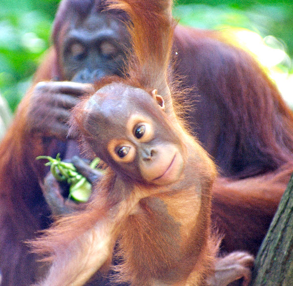 Sumatran Orangutan Facts  Animals Time