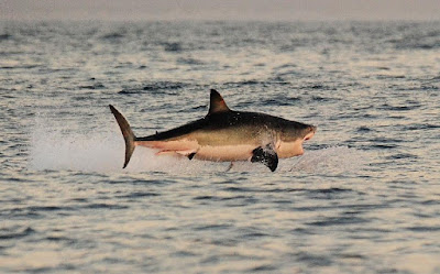 A Great White shark jumps out of the water