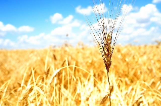 grano saragolla e dieta mediterranea, foodfilebasilicata