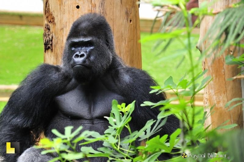 Gorille des plaines de l'ouest photo Pascal Blachier