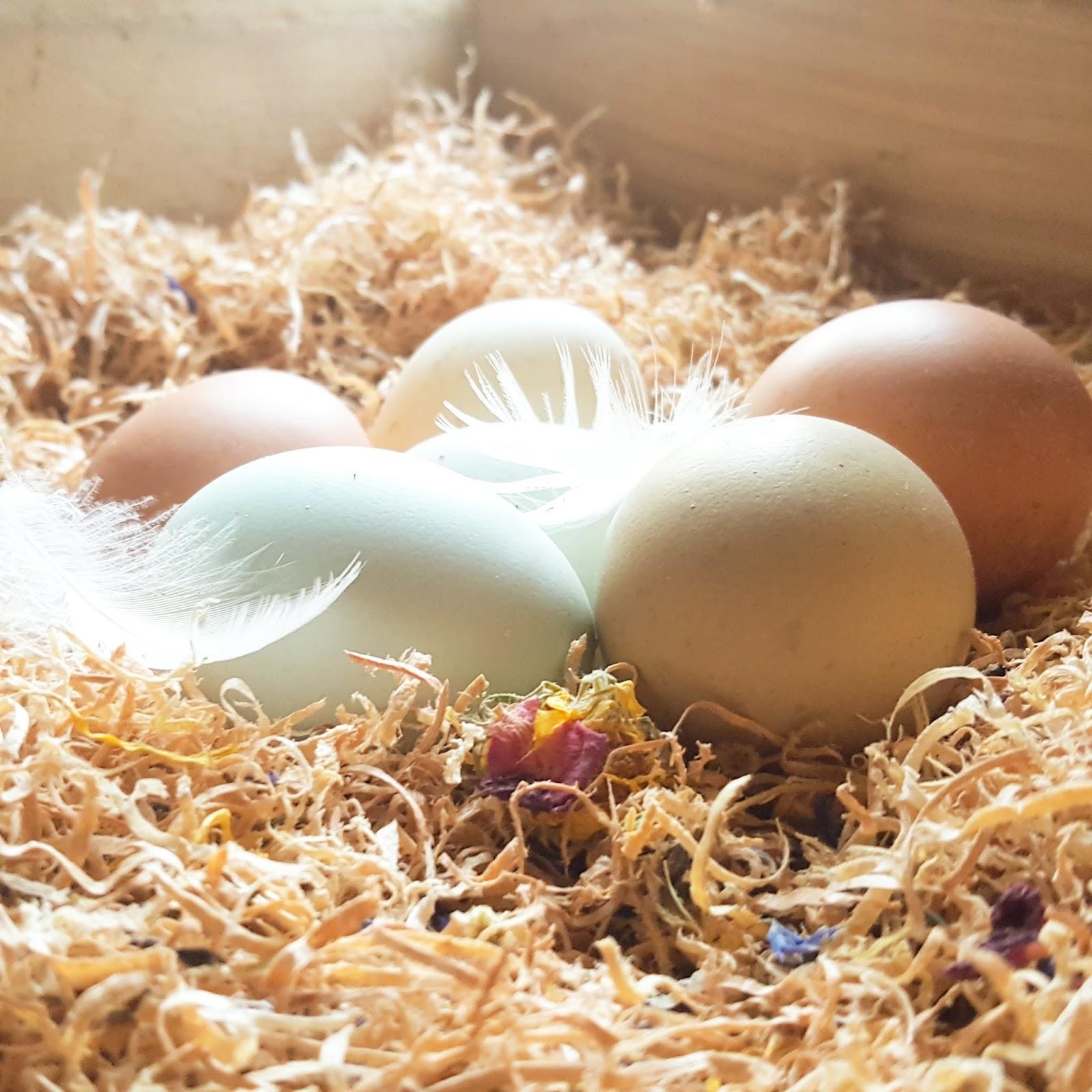 egg eating in backyard chicken flocks fresh eggs daily