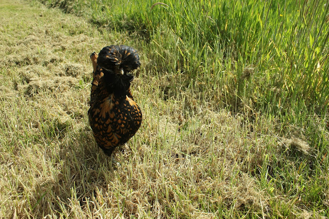 Black-laced gold Polish hen in the meadow