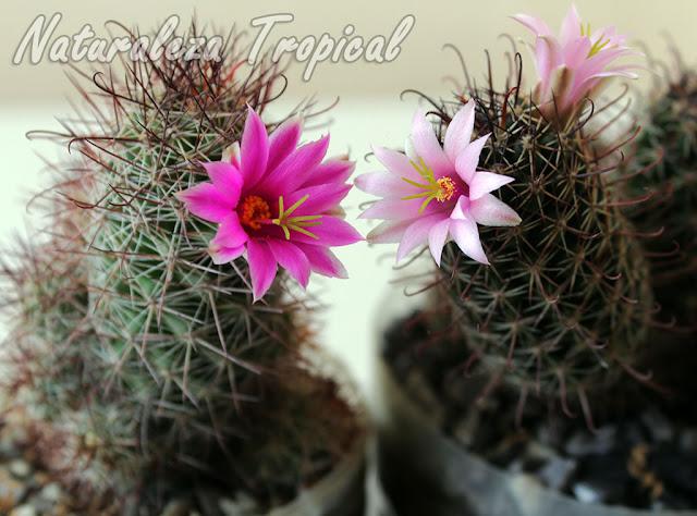Un cactus con flores preciosas, Mammillaria mazatlanensis