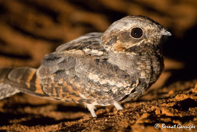 nightjar birds world
