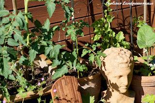 Berlingarten: Tomaten im Kübel