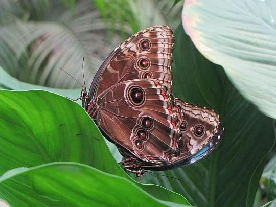 Morfo błękitny (Morpho peleides).