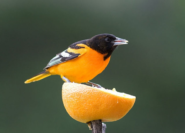 Baltimore Oriole - Facts, information and pictures 1