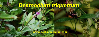 Hemorrhoids use Desmodium triquetrum