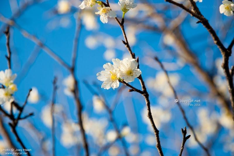 吉野櫻 員農種苗芬園花卉生產休憩園區 櫻花