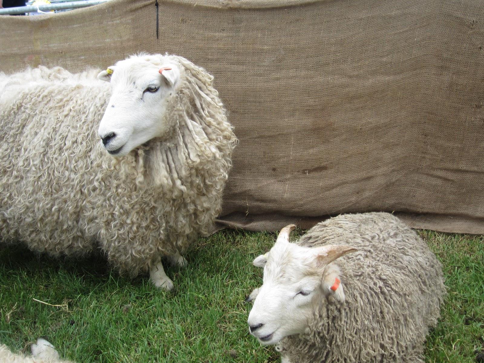 My Animal Facts Smashing Sheep
