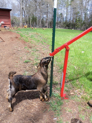 Alphie is a typical goat, curious about everything!
