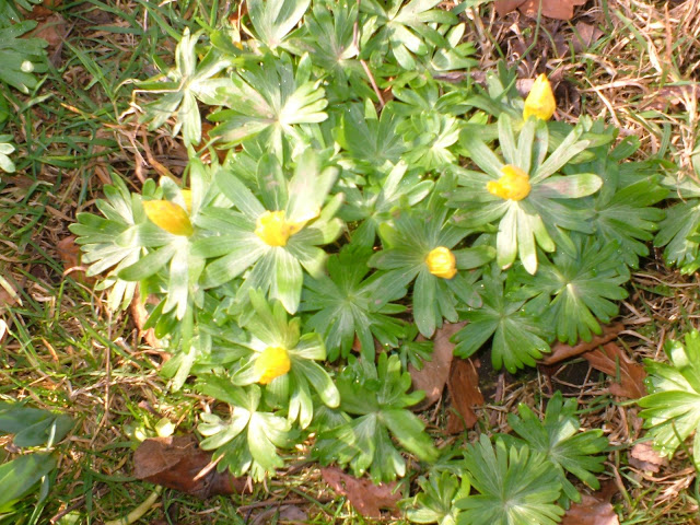 How to grow Yellow Winter Aconites