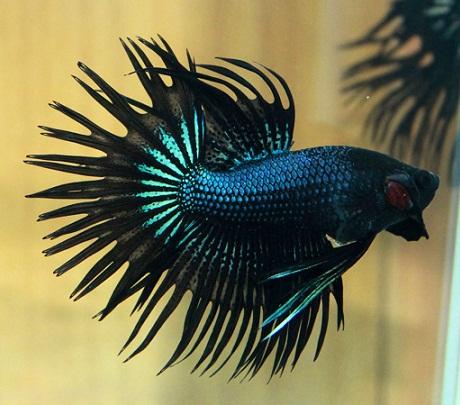 Ikan Cupang Serit - Crown Tail