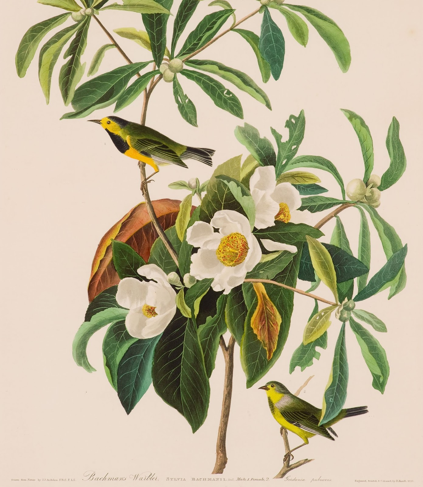 Bachman's Warbler I'On Swamp