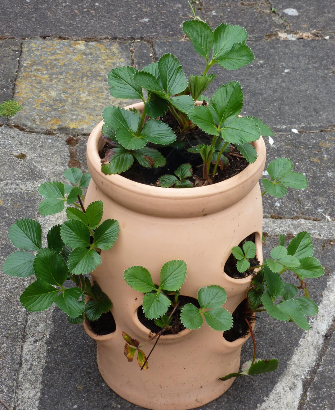 Growing Strawberries In A Planter: Greenjottings: Strawberry Trials