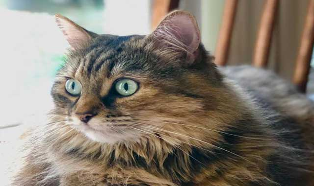 cymric cat Breed Information