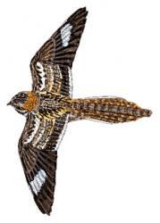 Slender tailed Nightjar