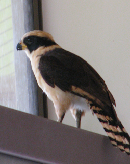 Laughing Falcon inside house