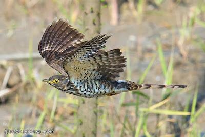 Large Hawk-Cucko - Hierococcyx sparverioides