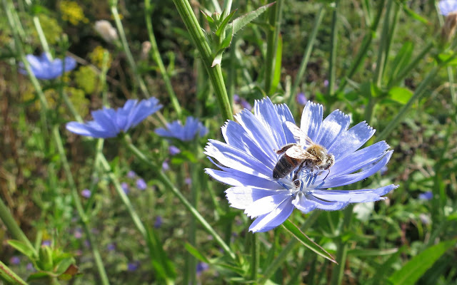Bee on Chicory Flower
