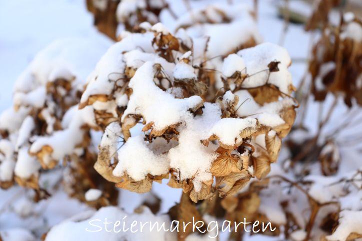 Hortensie-im-Schnee-Steiermarkgarten