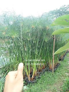 tanaman hias air papyrus