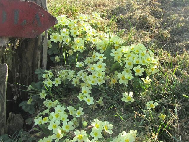 Gruppetto di Primule