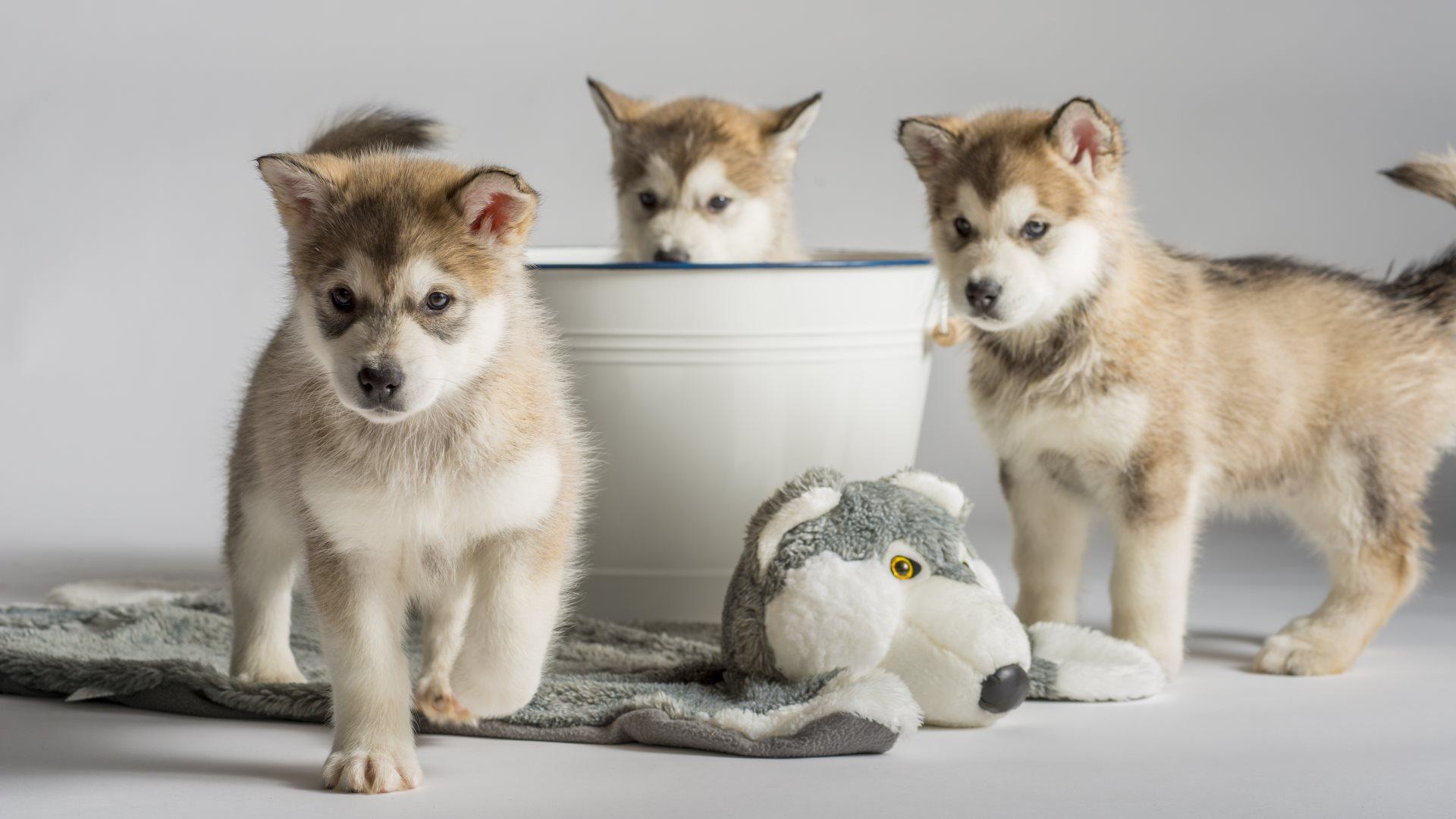 puppies wallpaper hd 235 - photo #27