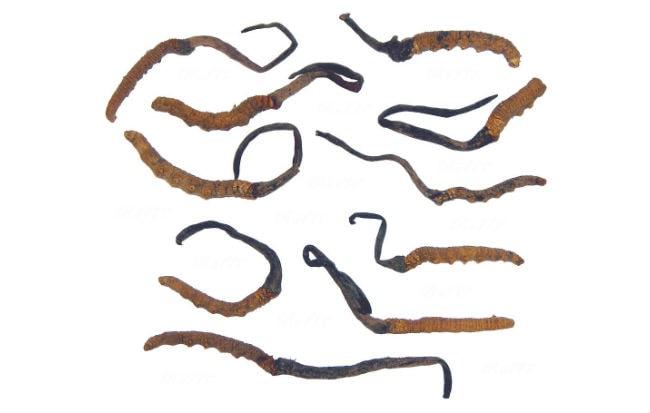 Esemplari di fungo medicinale orientale Cordyceps sinensis