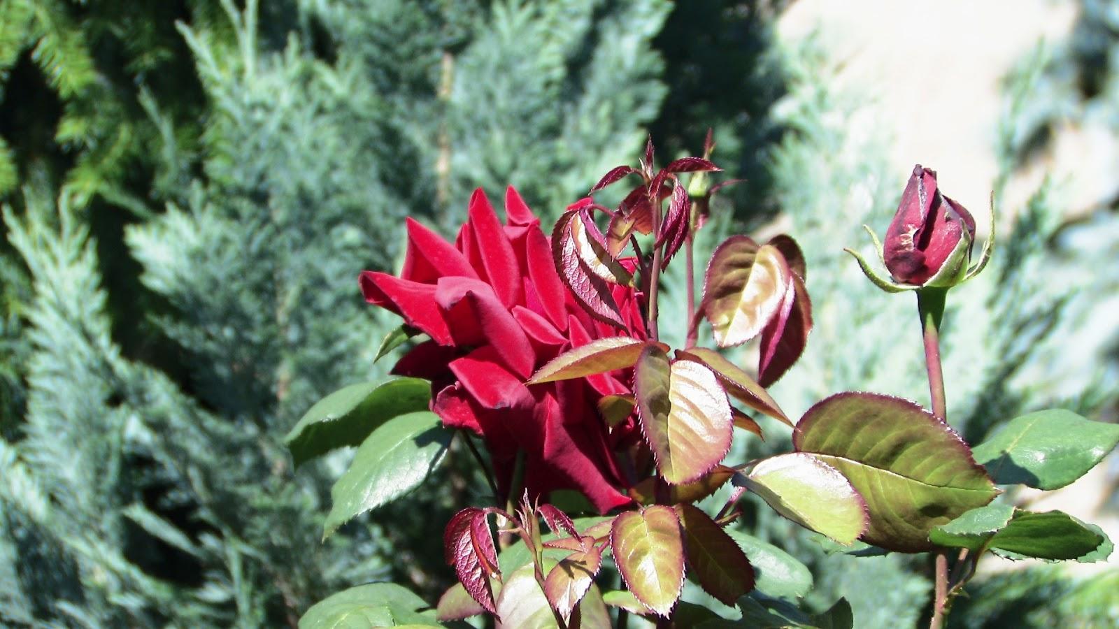 www.seeik.pl galeria róża