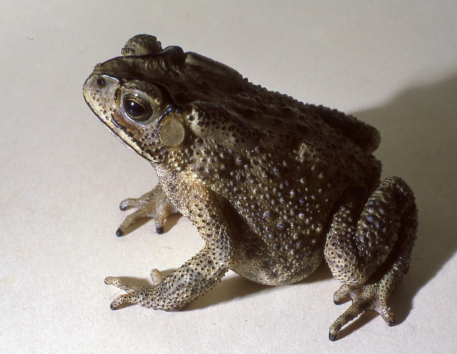 Asian river toads habitat