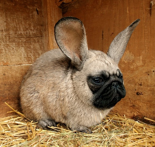 Easter Pug Pictures 76