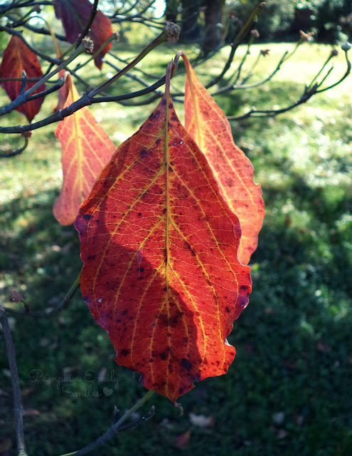 Dogwood red leaf