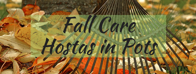 Fall Care of Hostas in Pots