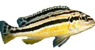 ikan niasa