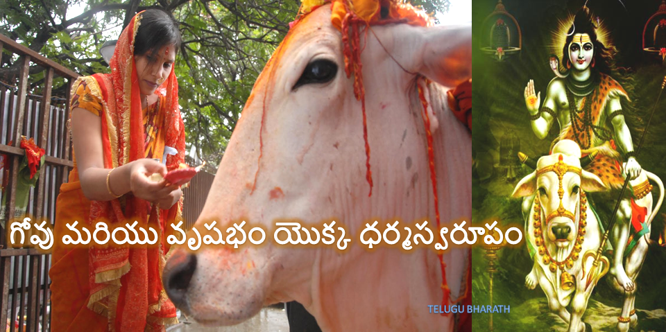 the cow and Taurus
