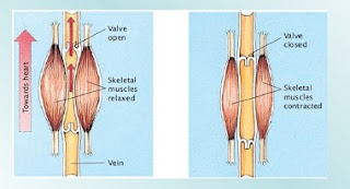muscle contractions, valves and blood circulation in veins