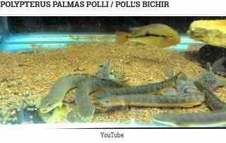 Polypterus palmas polli (Poll's Bichir)