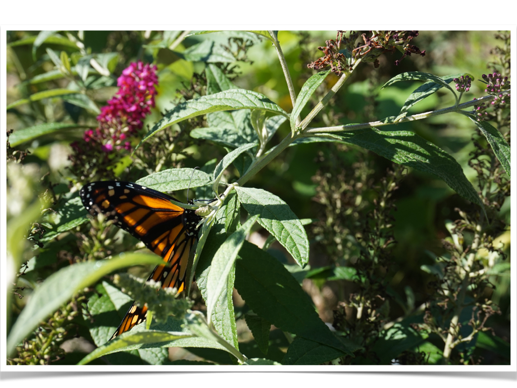 apple posters and monarch butterflies love those kinders