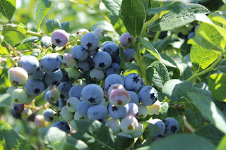 It's National Blueberry Month All Around the World