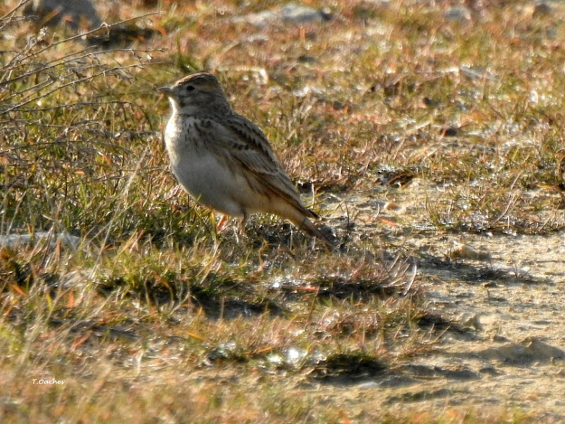 lesser short-toed lark, https://pasariromania.blogspot.com/