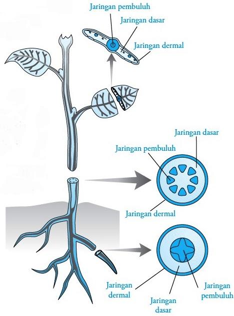 Biologi Kelas 8 | 5 Jenis Jaringan pada Tumbuhan Beserta