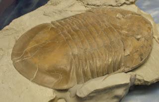 Fósil Isotelus rex