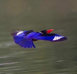 Black-capped kingfisher (Halcyon pileata)