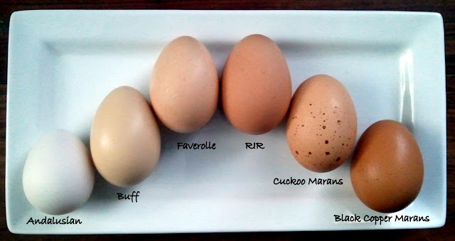 A Rainbow Of Egg Colors - What Breed Of Chicken Lays Which -9828