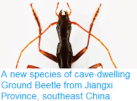 http://sciencythoughts.blogspot.co.uk/2014/03/a-new-species-of-cave-dwelling-ground.html