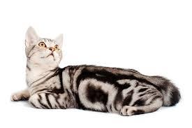 Kucing American Shorthair dan Karakteristiknya