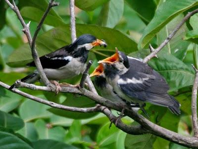 Mengetahui Sarang Burung Jalak Suren Di Habitat Aslinya Di Alam Bebas Paling Lengkap